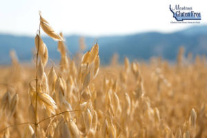 Oat crop ready for harvest